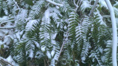 Frosty ferns