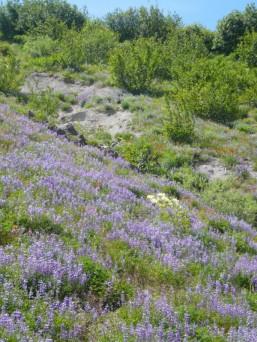 Alpine wildflowers.